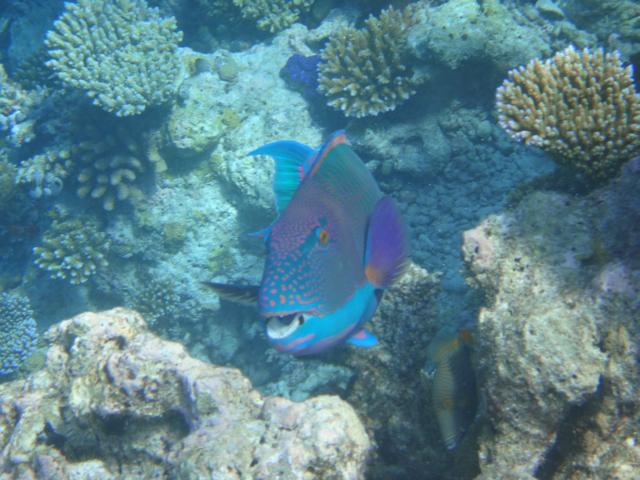 Reise in Myanmar in Asien. Bild von einem Korallenriff im Mergui Archipel, in dem ein Papageifisch schwimmt