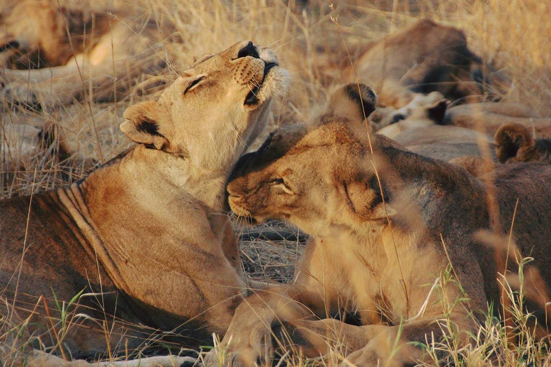 Reise in Tansania in Afrika. Safaribild von zwei Löwinnen, die im Steppengras liegen und sich gegenseitig putzen.