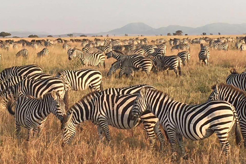 Reise in Tansania in Afrika. Safaribild von einer Herde Zebras, die om der Steppe grast.