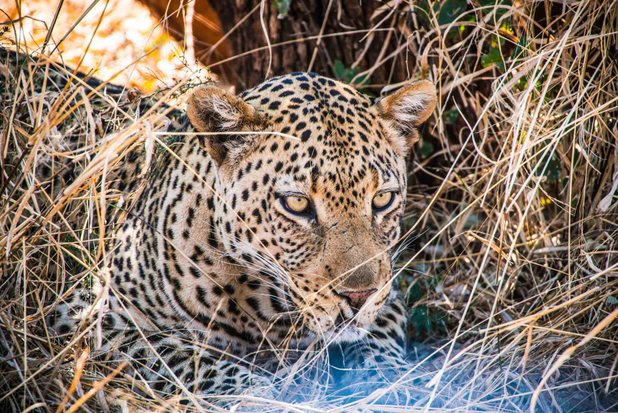 Zugreise mit Rovos Rail in Afrika. Nahaufnahme von einem Leopard im Gras während Safari.