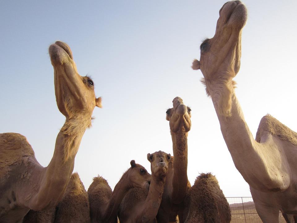 Reise in Oman im Orient. Vier Kamele in der Wüste überragen den Fotografen.