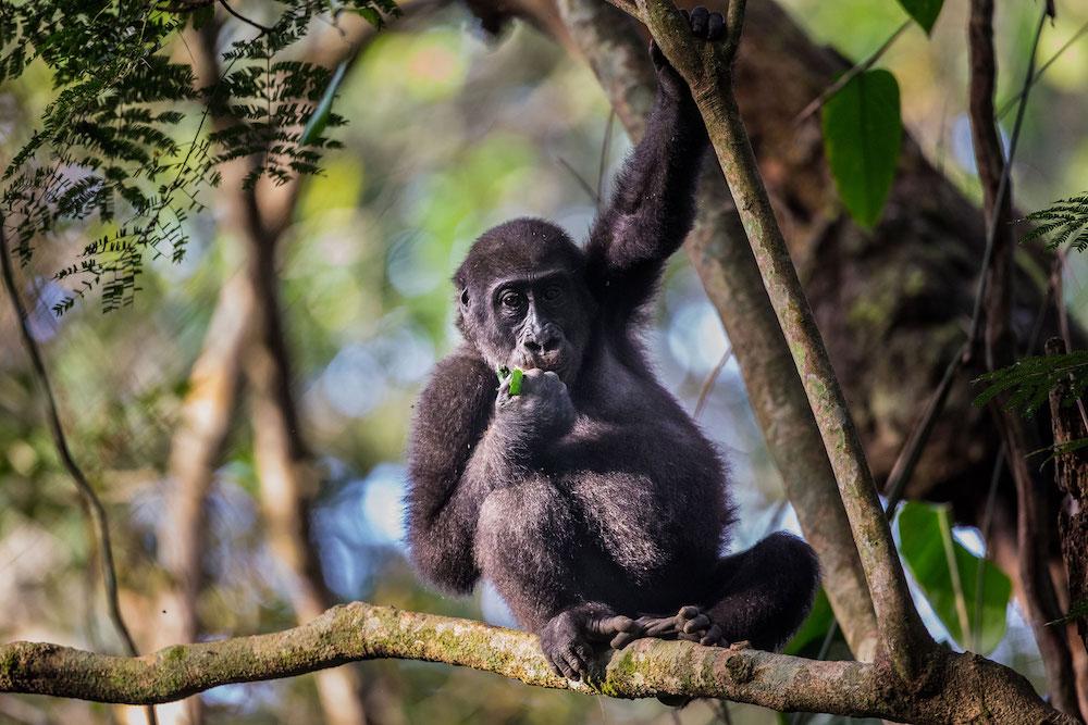 Reise in den Kongo in Afrika. Ein junges Gorilla Baby sitzt auf einem breiten Ast auf einem Baum und ist ein Blatt, während es in die Kamera schaut.
