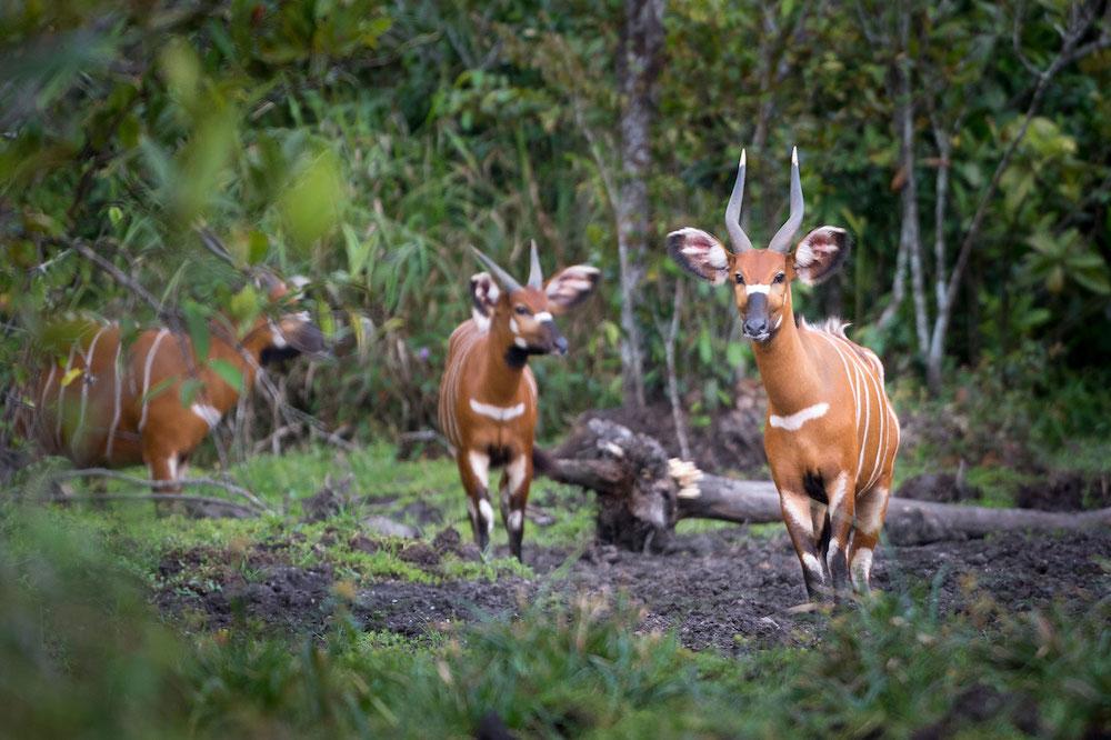 Reise im Kongo in Afrika. Eine Herde Antilopen steht im Dschungel und wird auf einer Safari beobachtet.
