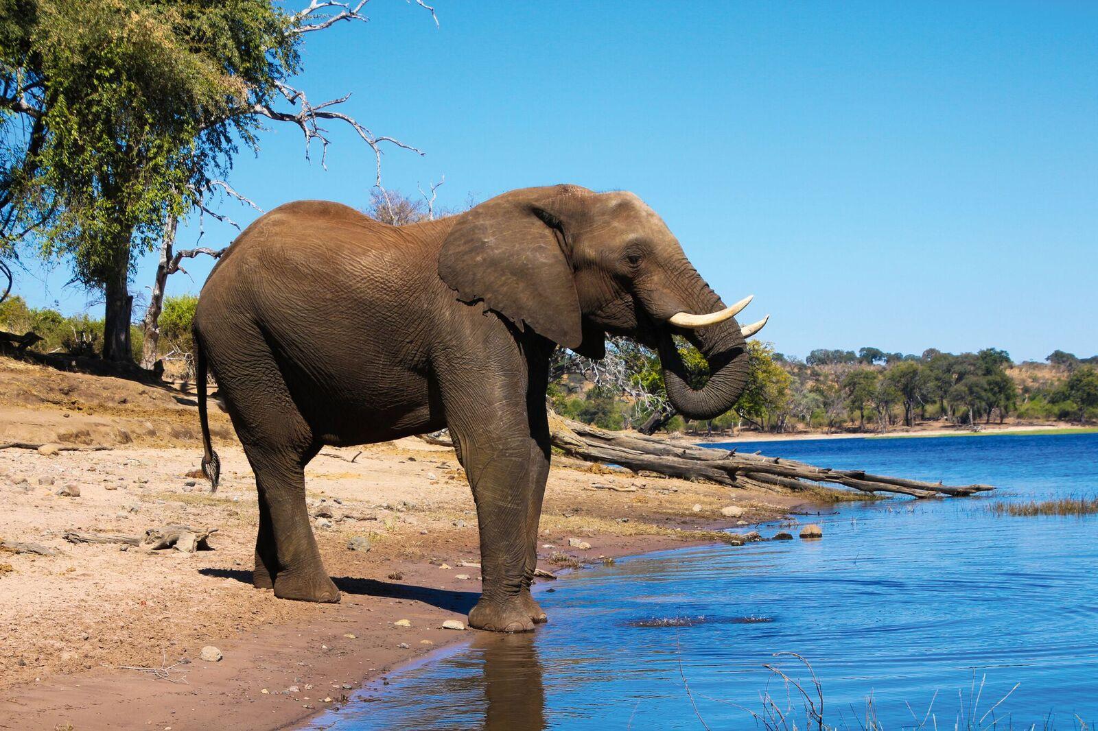 Zugreise mit Rovos Rail in Afrika. Safaribild von einem grossen Elefanten, der an einem Wasserloch trinkt.
