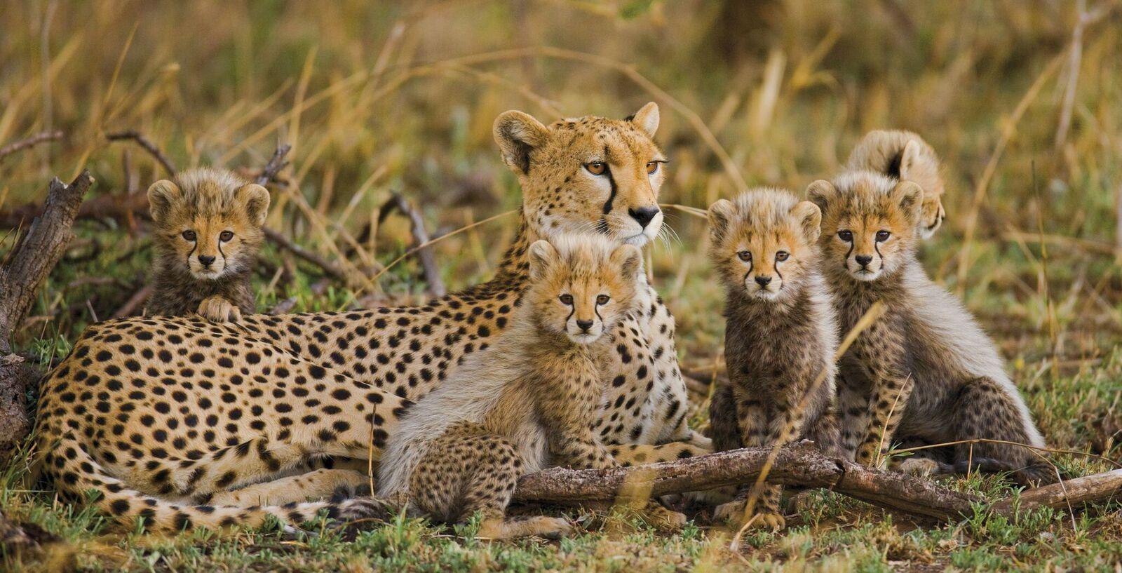 Zugreise mit Rovos Rail in Afrika. Safaribild von einer Leopardenmutter, die mit ihren fünf Jungen im Gras liegt.