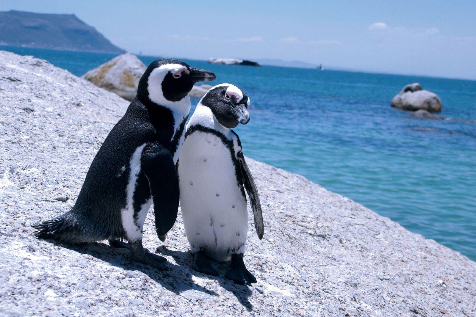 Zugreise mit Rovos Rail in Afrika. Tierbild mit zwei kleinen Pinguinen an der Küste von Südafrika