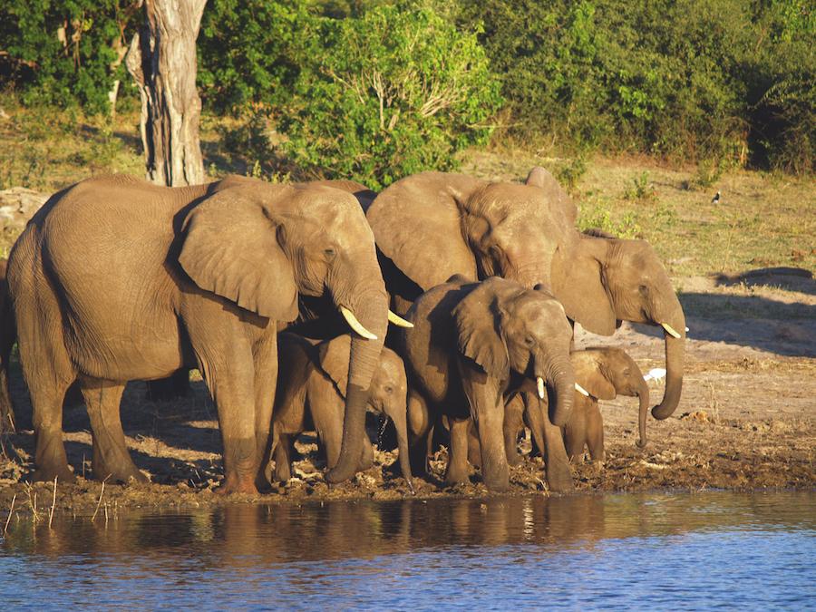 Reise in Sambia in Afrika. Bei einer Safari ist eine Elefantenherde mit drei Jungen zu sehen, die an einem Wasserloch tränkt.