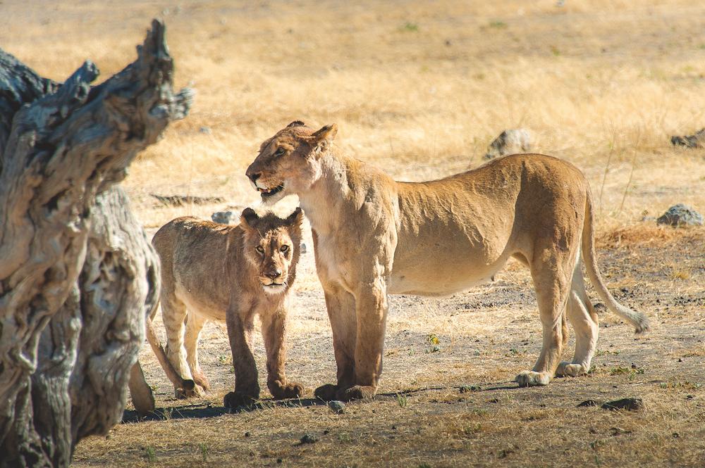 Reise in Sambia in Afrika. Auf einer Safari wurde eine Löwin mit ihrem Jungen beobachtet.
