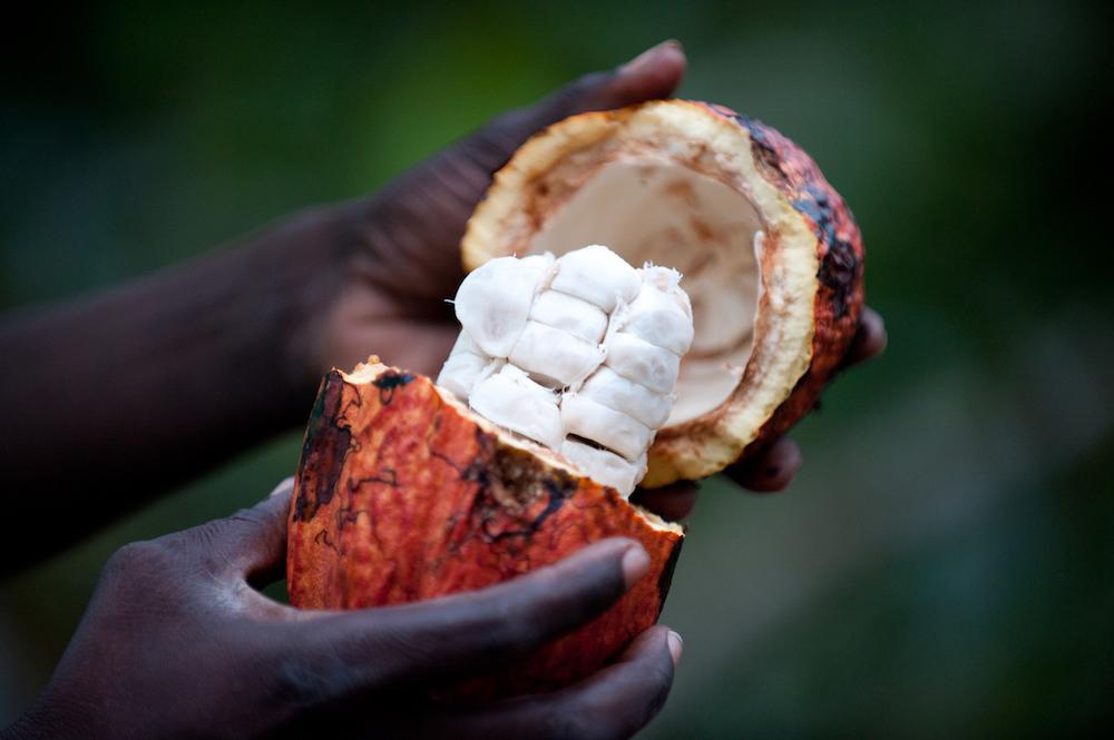 Reise in Sao Tome und Principe in Afrika. Nahaufnahme einer Bio Kakaofrucht.