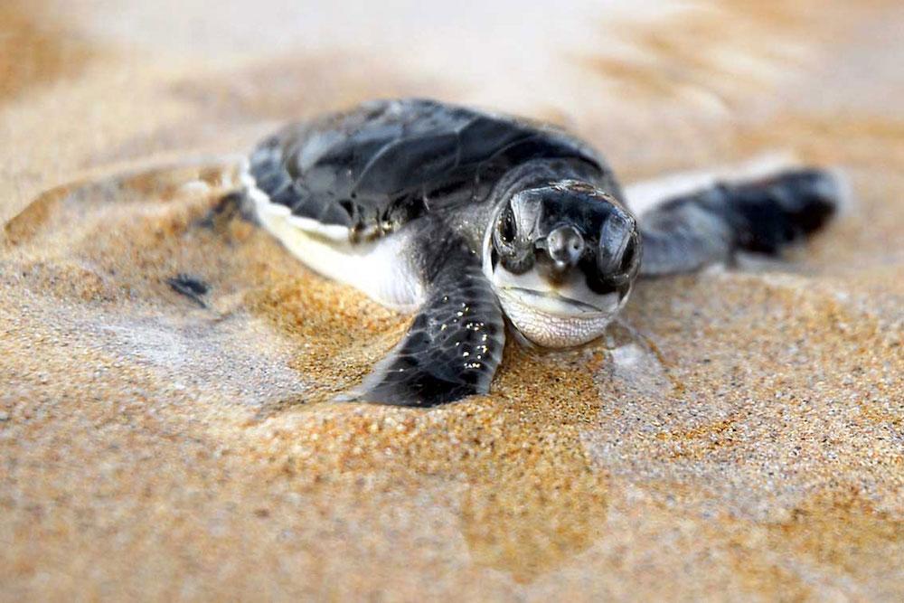 Reise in Sao Tome und Principe in Afrika. Nahaufnahme eines neugebohrenen Schildkrötenbabys im Sand.