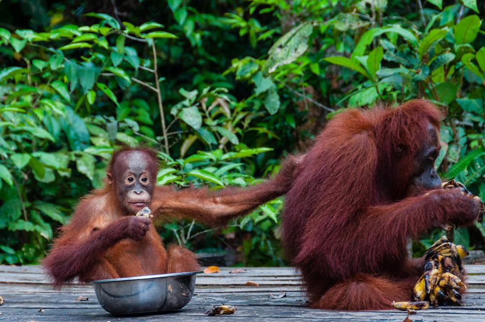 Reise in Borneo und Sulawesi in Indonesien. Ein Orang Utan Baby sitzt in einer Schüssel und entlaust den Rücken seiner Mutter, die Bananen schält