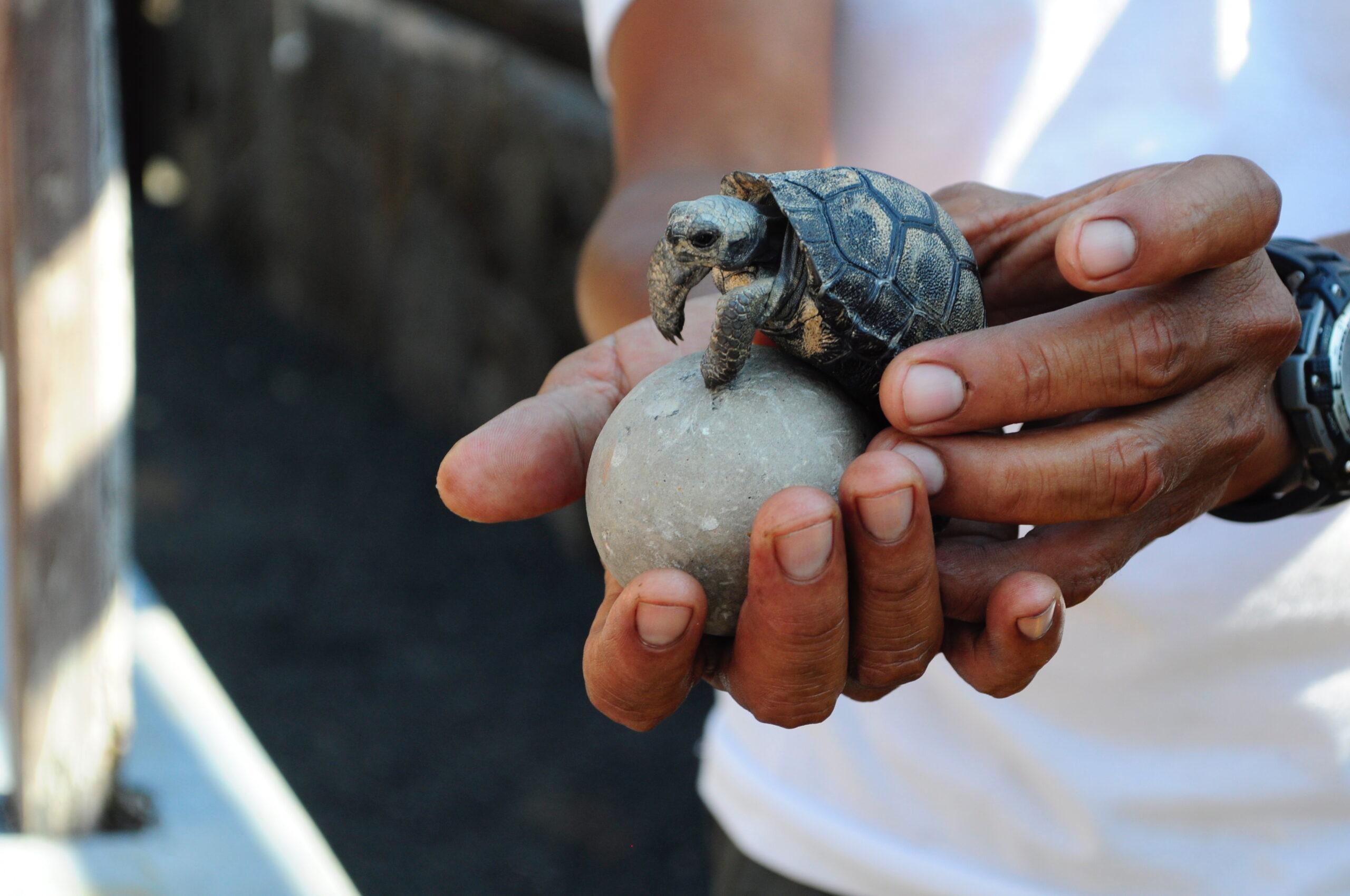 Reise in Galapagos und Ecuador in Südamerika. Eine kleine Baby Schildkröte ist frisch aus ihrem Ei geschlüpft.