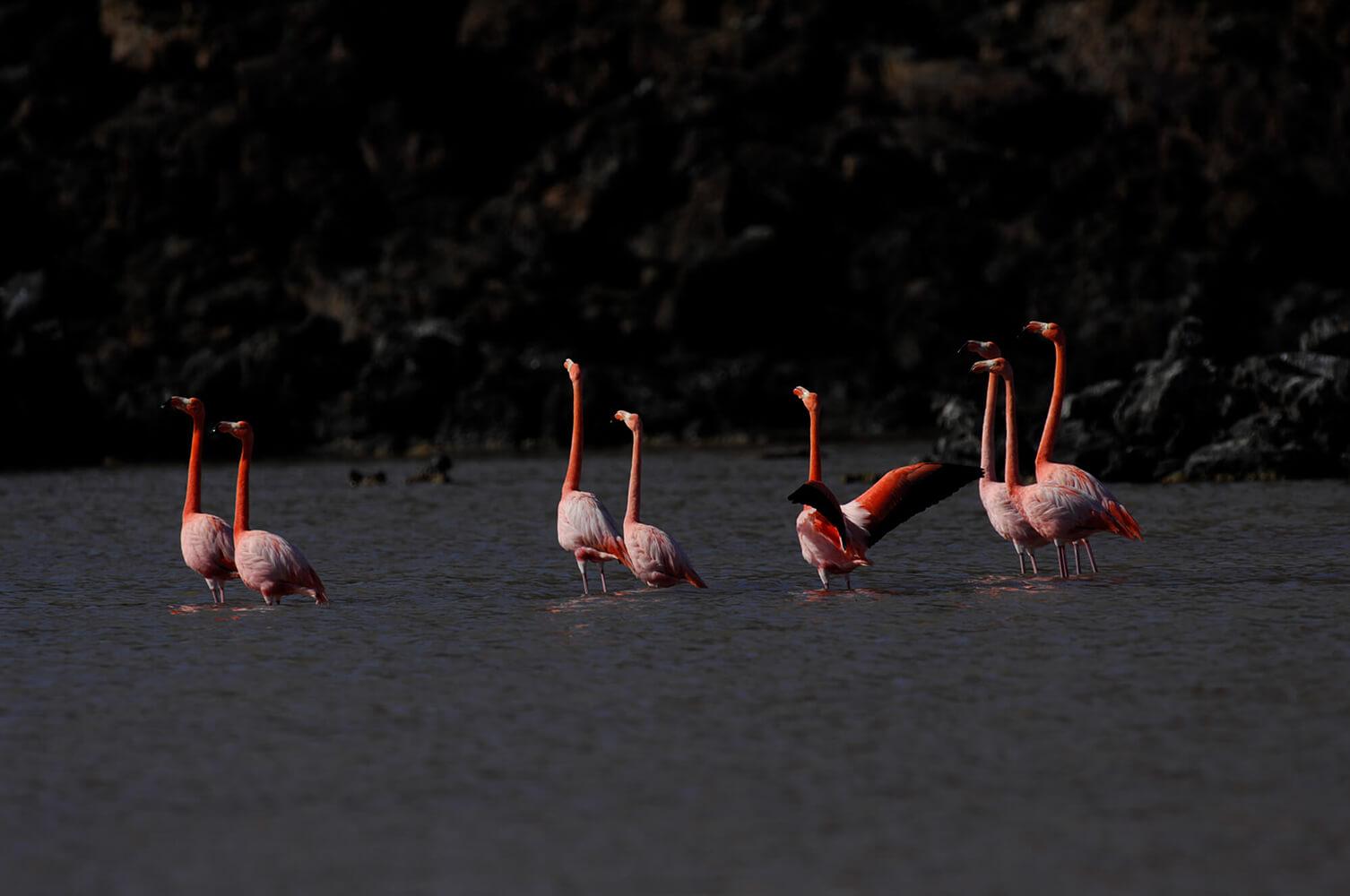 Reise in Galapagos und Ecuador in Südamerika. Ein Schwarm Flamingos steht im Wasser.