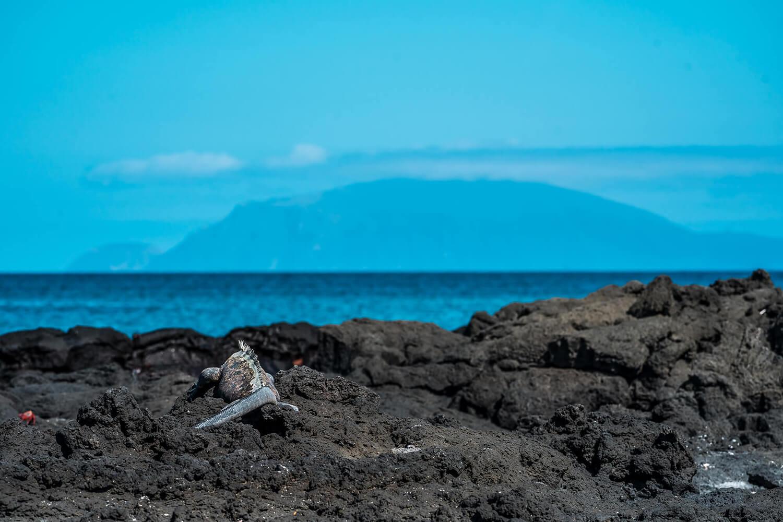 Reise in Galapagos und Ecuador in Südamerika. Ein Leguan liegt auf Vulkansteinen am Strand, dahinter schimmert das türkisfarbene Meer.