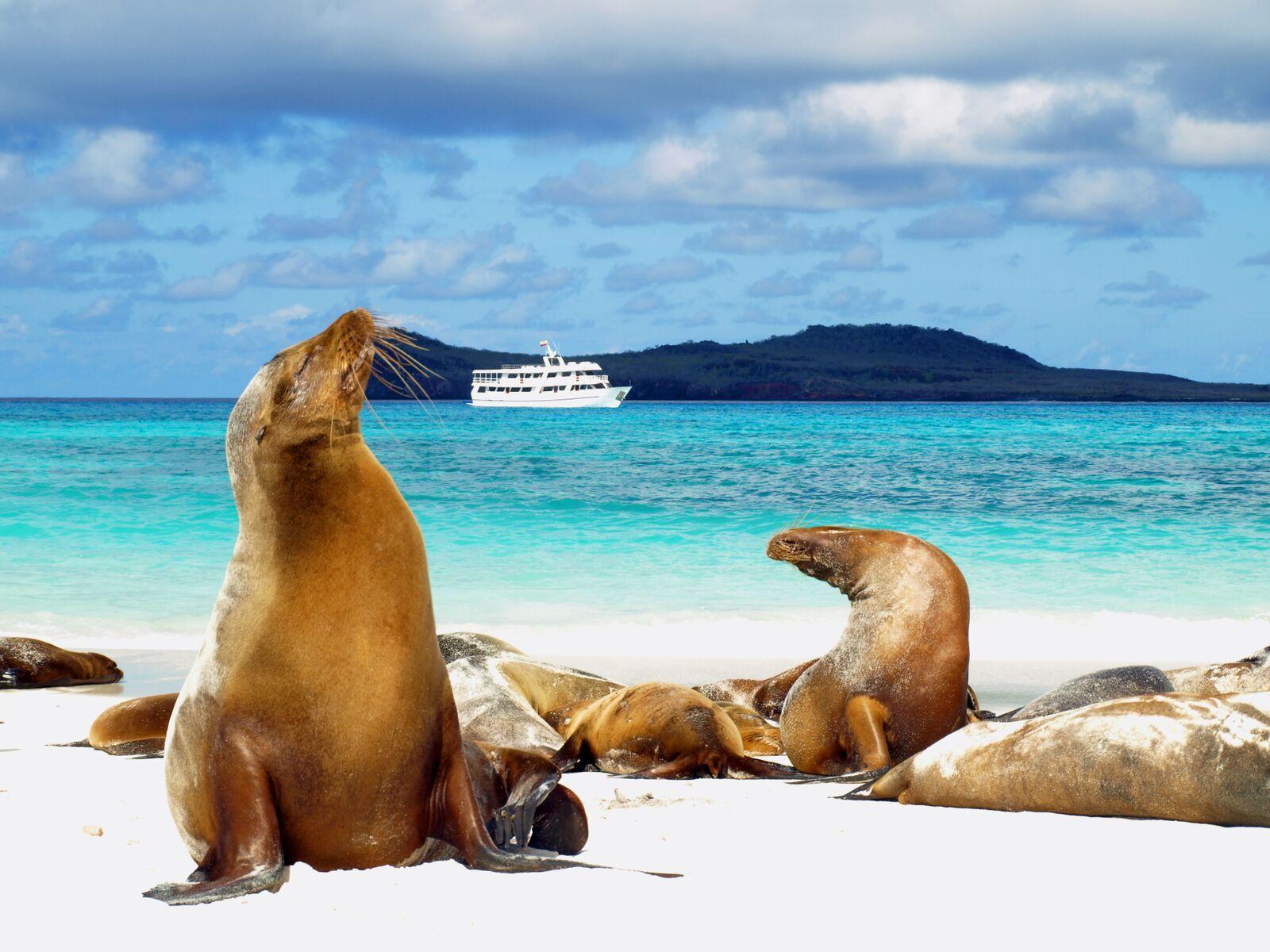 Reise in Galapagos und Ecuador in Südamerika. Im Vordergrund sind einige Seelöwen im Sand zu sehen, im Hintergrund fährt ein kleines Kreuzfahrtschiff auf dem Meer.