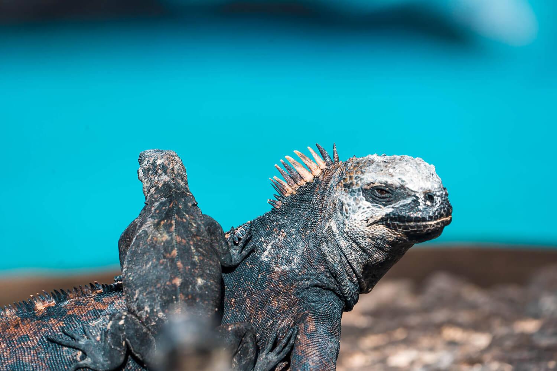 Reise in Galapagos und Ecuador in Südamerika. Zwei Reptilien liegen auf Steinen, das Junge klammert sich an den Rücken der Mutter.