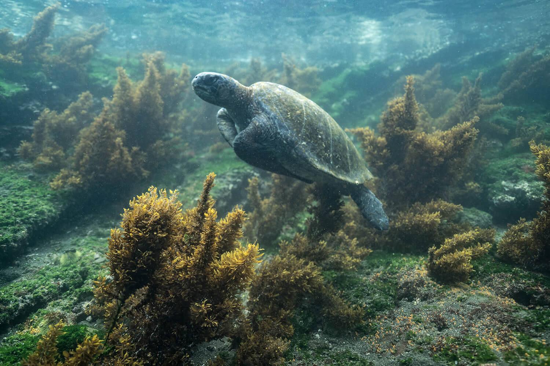 Reise in Galapagos und Ecuador in Südamerika. Eine Wasserschildkröte lässt isch in einem Riff treiben.
