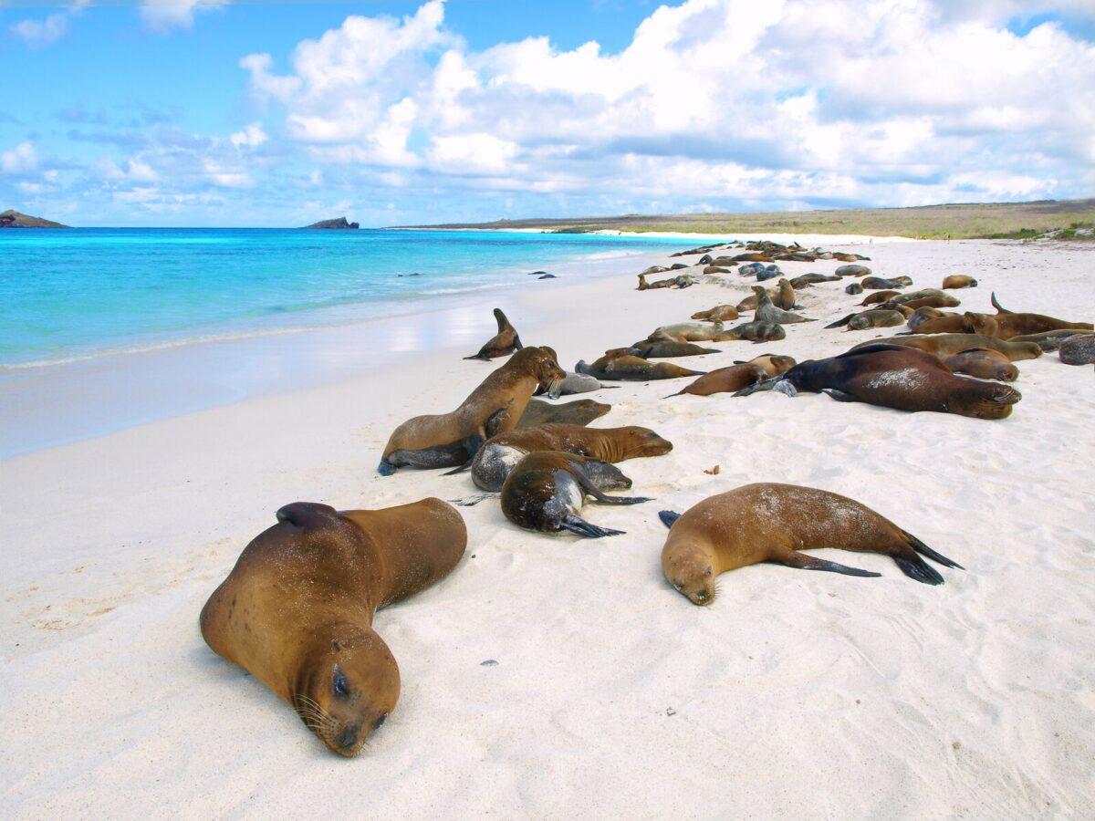 Reise in Galapagos und Ecuador in Südamerika. Viele Seelöwen liegen im Sand, während sich türkise Wellen an der Küste brechen.