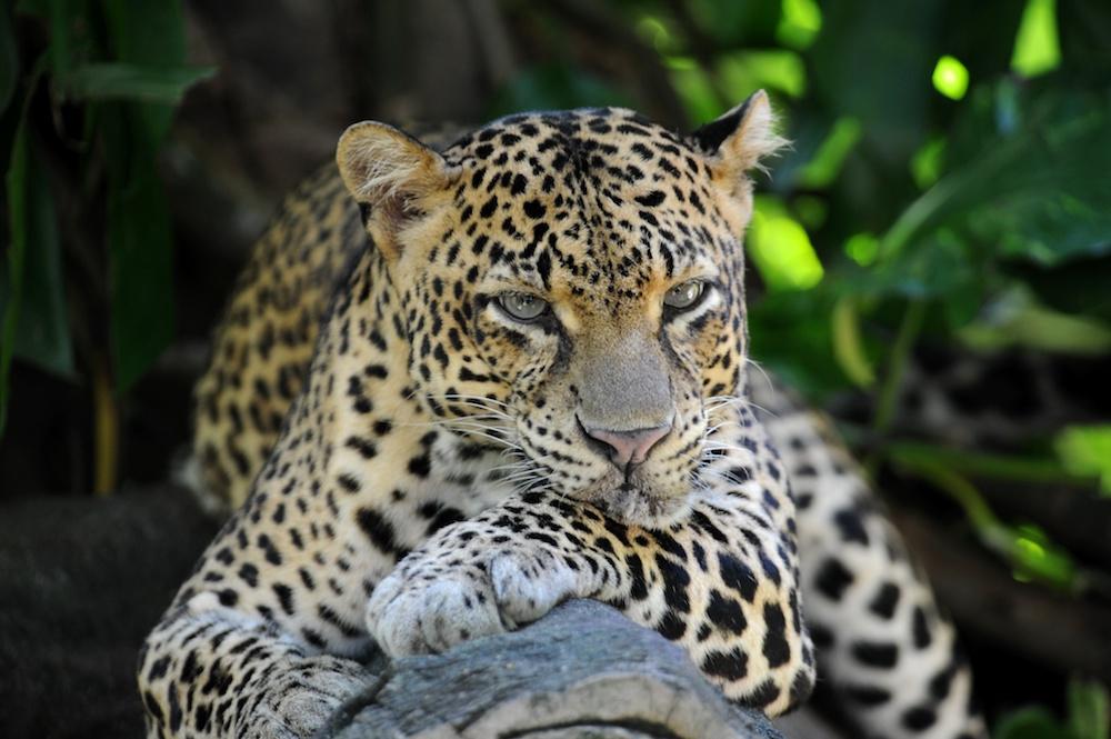 Reise in Sri Lanka in Asien. Ein Leopard wurde während einer Safari fotografiert, wie er auf einem breiten Ast döst.