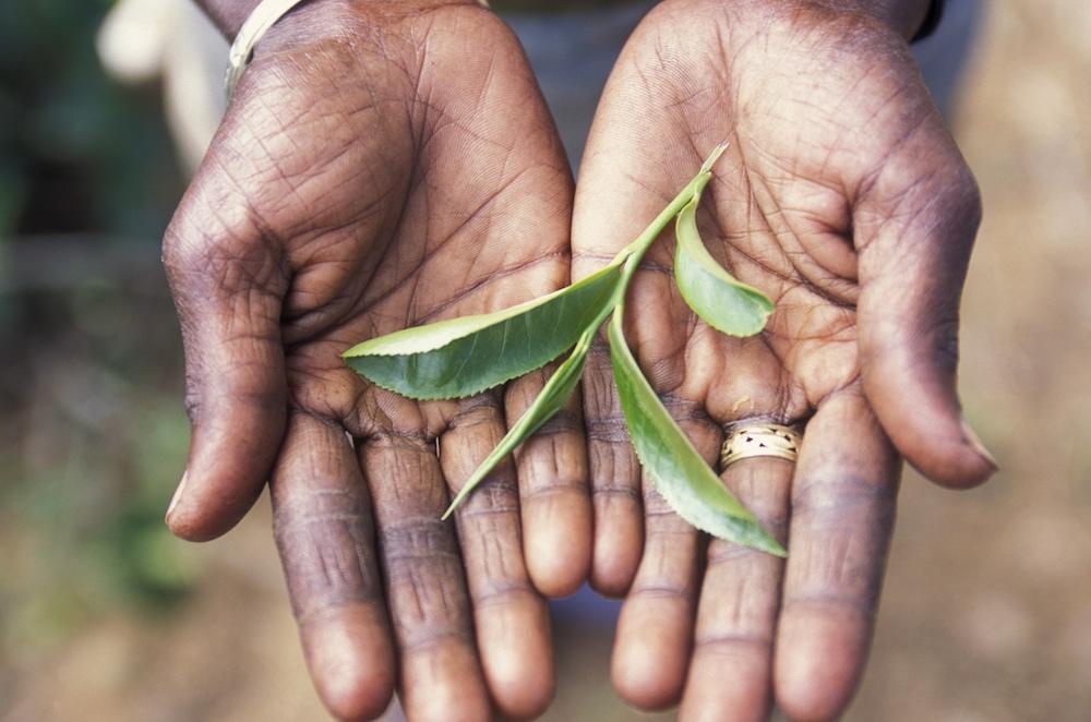 Reise in Sri Lanka in Asien. Eine tamilische Frau, die in de Teeplantage von Nuwara Eliya arbeitet, hält ein Teeblatt in die Kamera.