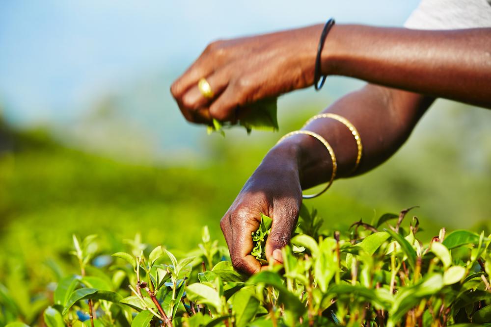 Reise in Sri Lanka in Asien. Eine tamilische Frau, die in de Teeplantage von Nuwara Eliya arbeitet, erntet die Teeblätter von den Strächern.