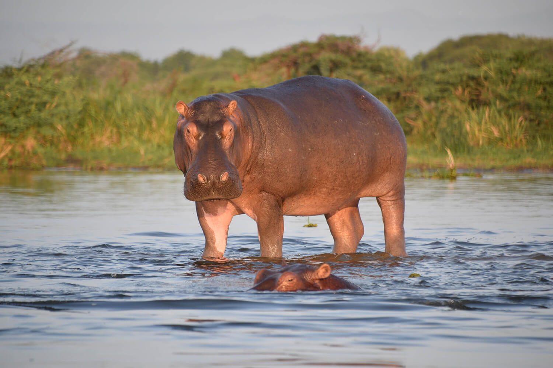 Reise in Uganda in Afrika. Zwei Nilpferde sind auf einer Bootsafari im Kazinga Kanal des Queen Elizabeth Nationalparks zu beobachten, das eine steht im Wasser, das andere ist fast vollständig abgetaucht und nur die Augen und die Ohren sind zu sehen.