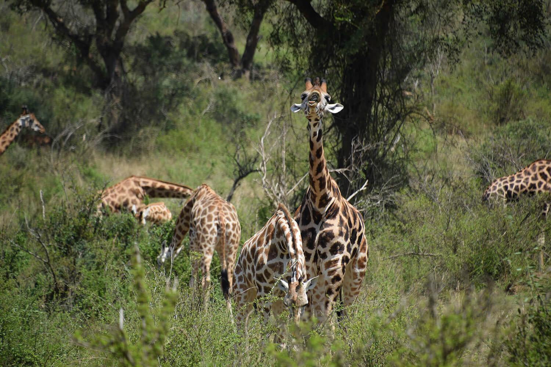 Reise in Uganda in Afrika. Auf einer Safari steht eine Giraffen Herde im Buschwerk im Nationalpark.