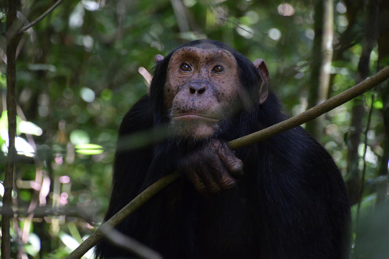 Reise in Uganda in Afrika. Auf einer Safari im Nationalpark sitzt ein Schimpanse in einem Baum und blickt freundlich in die Kamera.