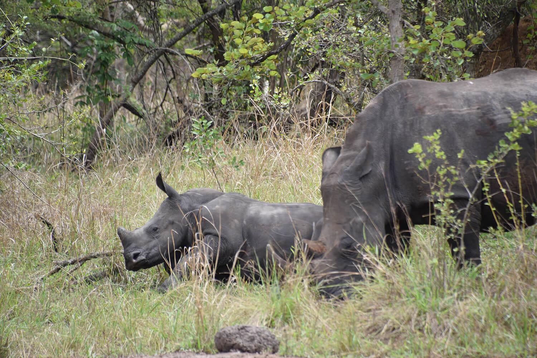 Reise in Uganda in Afrika. Ein  weisses Nashorn grast mit seinem Jungen auf der Savanne im Ziwa Rhino Sanctuary bei einer Safari.