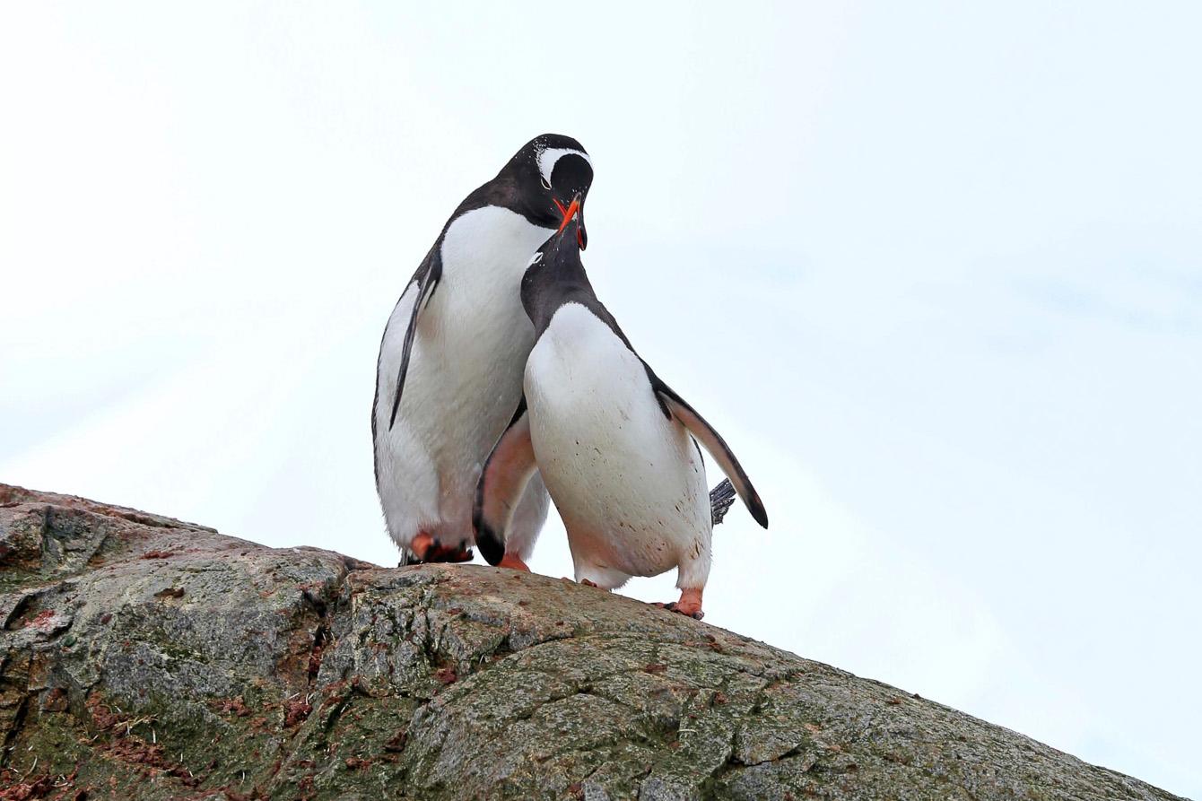 Reise in der Antarktis. Auf einer Expedition mit Hapag Lloyd Cruises sind zwei Pinguine auf einem grossen Stein zu sehen.