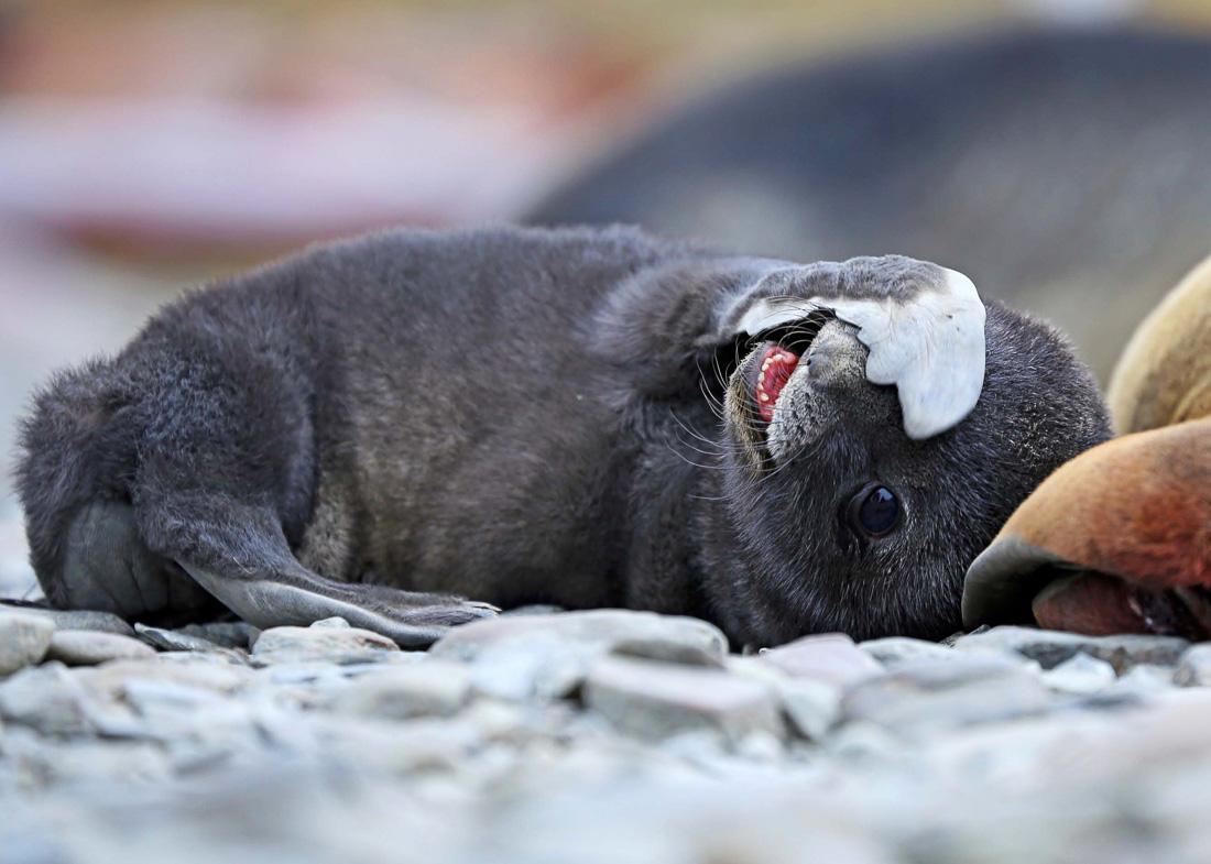 Reise in der Antarktis. Auf einer Expedition mit Hapag Lloyd Cruises ist ein liegender Babyseelöwe auf einem Stein zu sehen.