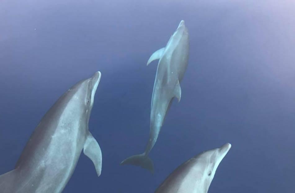 Reisebild von Tauchgang. Drei grosse Delfine schwimmen im dunkelblauen Meer.