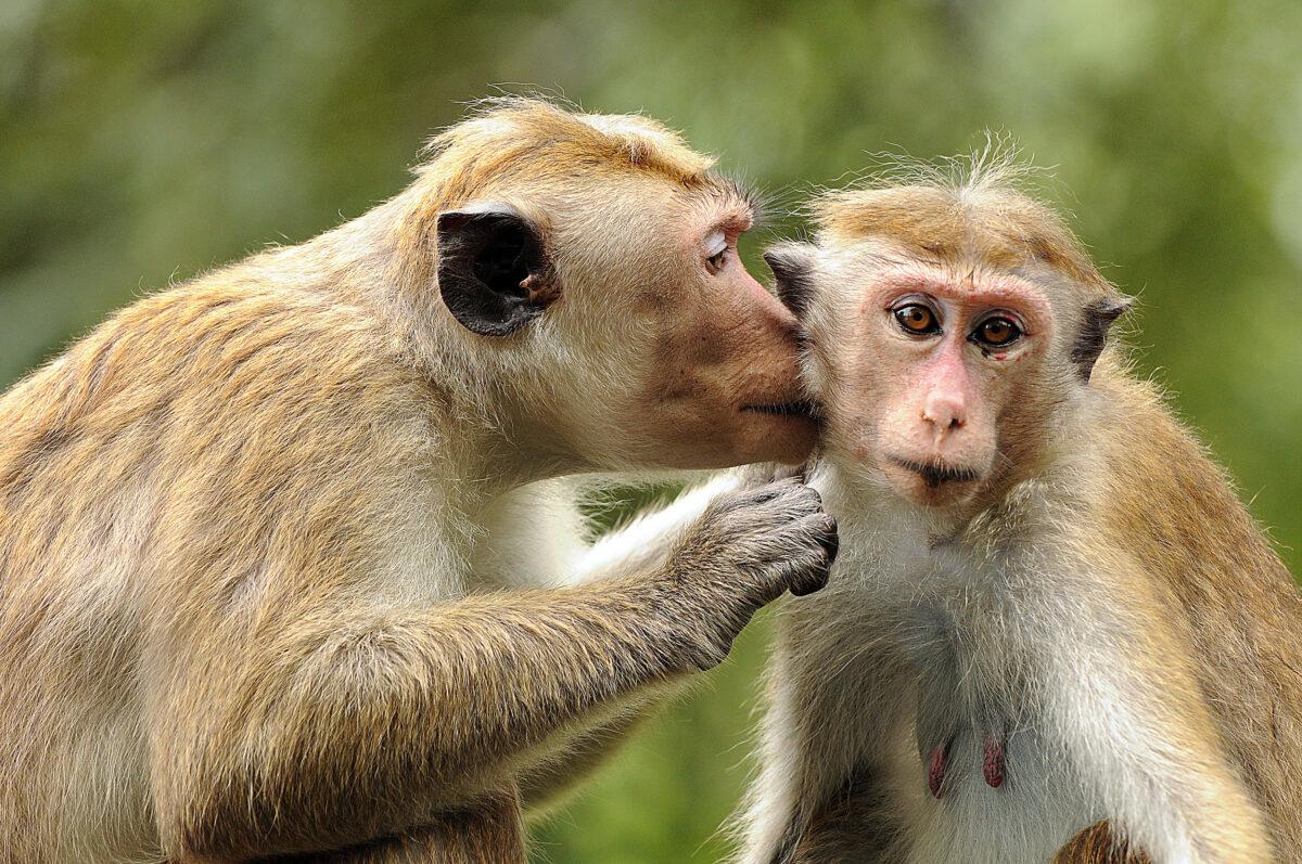 Reise in Sri Lanka in Asien. Zwei goldene Ceylon Hutaffen sind zu sehen, der eine putzt das Ohr des anderen.