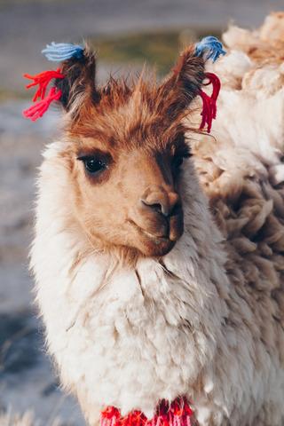 Simtis Reisevortrag Peru und Bolivien in Südamerika. Ein Llama mit langem Fell und geschmückten Ohren blickt treuherzig in die Kamera.