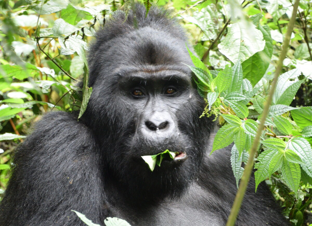 Simtis Reisevortrag Uganda Gorilla Trekking. Ein grosses Gorilla Männchen sitzt bei einer Safari im Bwindi Impenetrable Forest Nationalpark in einem Baum und frisst Blätter.