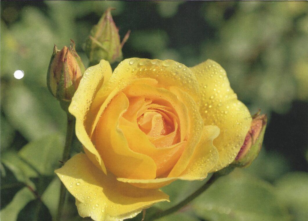 Postkarte von einer Australien Reise von zufriedenen Simtis Kunden. Auf der Karte ist eine gelbe Rose zusehen, die noch mit Morgentau benetzt ist.