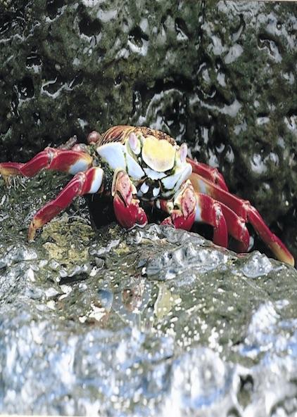 Postkarte von einer Ecuador Reise von zufriedenen Simtis Kunden. Abgebildet ist ein grosser, roter Krebs auf einem Stein.
