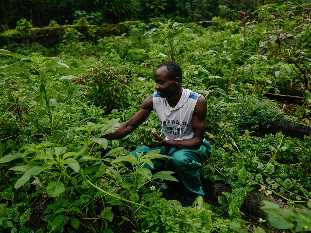 Reise in Sao Tome und Principe in Afrika. Ein einheimischer Mann knieht in einem üppigen Garten und pflückt Blätter von einem Busch.