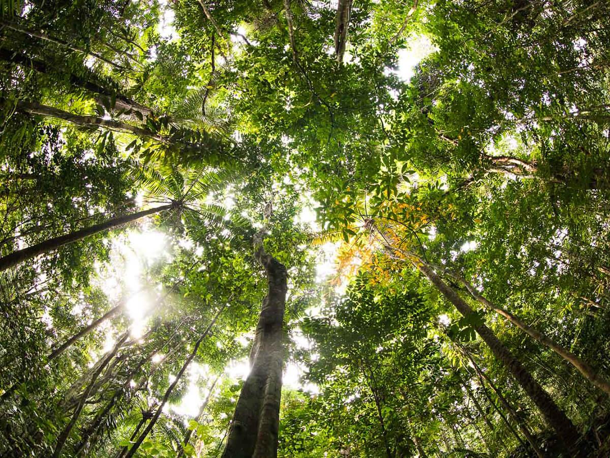 Reise in Sao Tome und Principe in Afrika. Sicht vom Waldboden aus zu den Baumkronen eines Urwalds, die Sonne scheint zwischen den Blättern hervor.