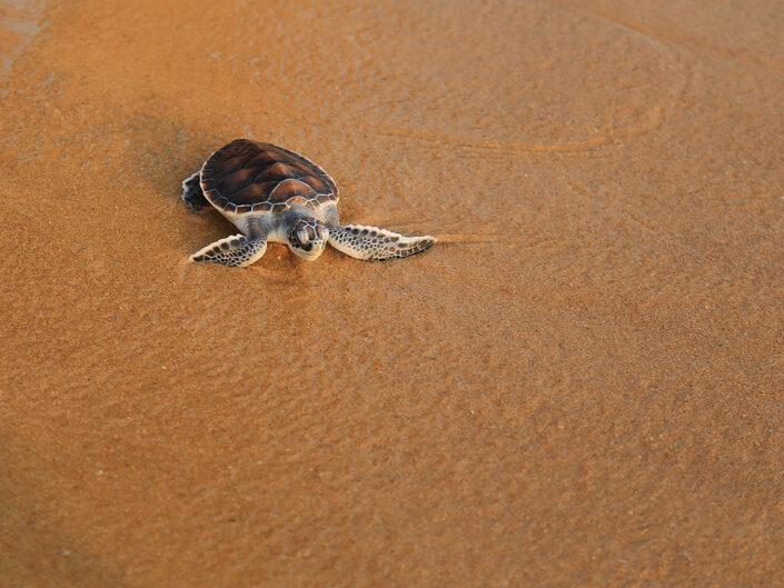 Reise in Sao Tome und Principe in Afrika. Ein frisch geschlüpftes Schildkrötenbaby liegt im nassen Sand.