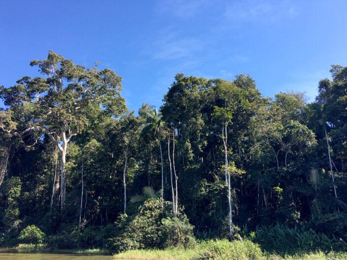 Reise in Peru in Südamerika. Naturbild von hohen Bäumen und dichtem Dickicht des Amazonas im Tambopata Naturreservat.