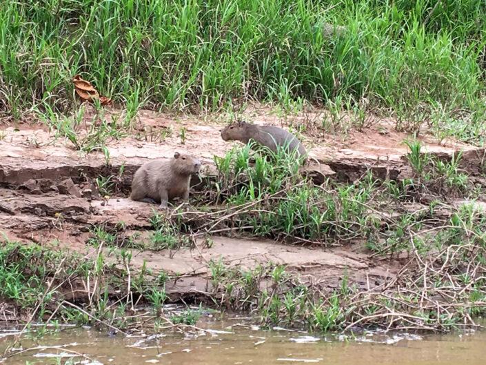 Reise in Peru in Südamerika. Am Flussufer im Gras sind zwei kleine, für das Tambopata Naturreservat typische Wasserschweine zu sehen.