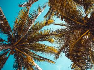 Reise in Indien in Asien. Grosse Palmen mit Kokosnüssen zeichnen sich vor dem blauen Himmel über den Andamanen Inseln ab.
