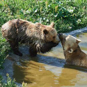 Reise in der Schweiz in Europa. Zwei Bären in Arosa spielen miteinander, einer liegt im Wasser, der andere steht am Ufer.