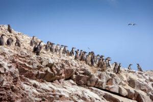 Pinguine auf den Ballestas Inseln vor der Pazifikküste Perus
