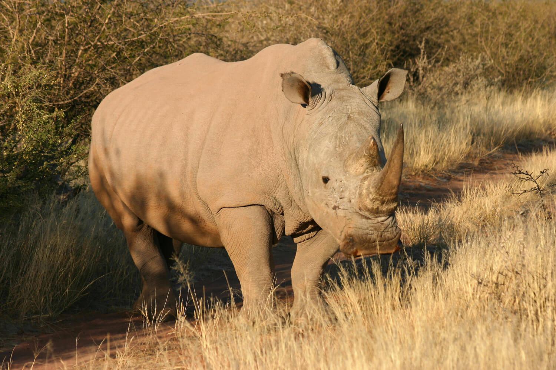 Nashorn in Savannenlandschaft