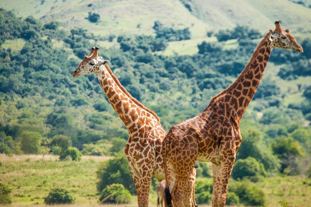Zwei Giraffen in der Wildnis in schöner Graslandschaft