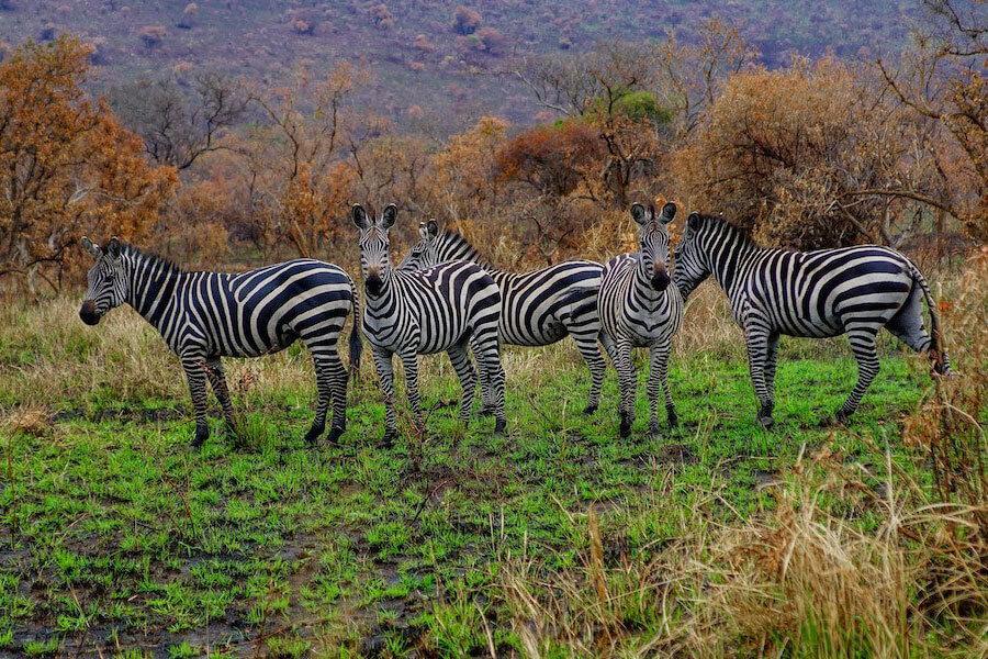 Gruppe Zebras in der Wildnis in schöner Graslandschaft