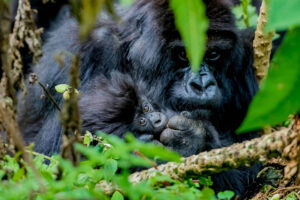 Gorillamutter mit Baby zwischen den Ästen