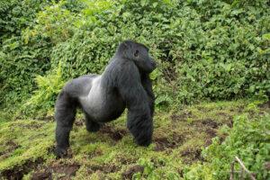 Silberrücken Gorilla in der Wildnis im Wald